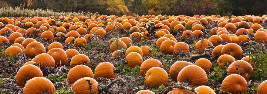 Roca berry farm opens the gates to their pumpkin patch.